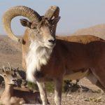 سه شکارچی قوچ وحشی در کمین شبانه محیط بانان گرفتار شدند