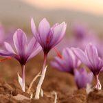 با اشتغال 924 هزار نفر روز :  21تن زعفران از مزارع نیشابوربرداشت شد