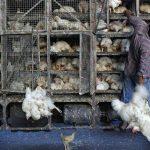 کشف 4 هزار و 500 قطعه مرغ زنده قاچاق